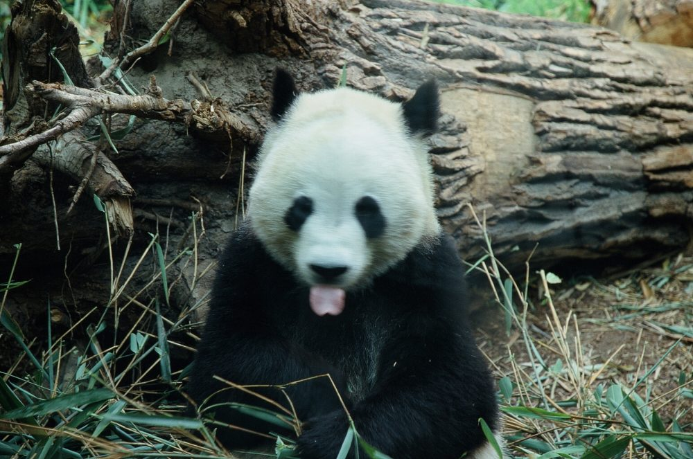 panda bear sitting upright and sticking out his tongue