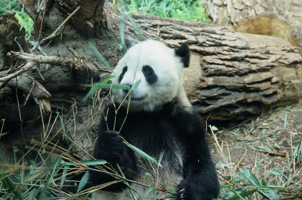 panda bear sitting upright