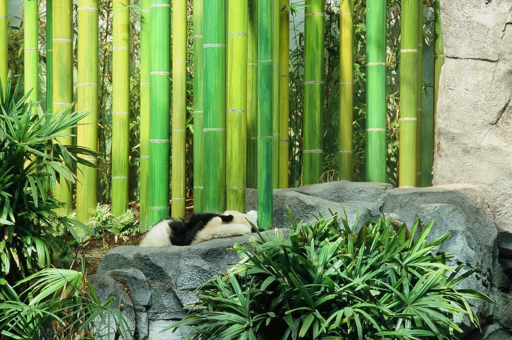 panda bear sleeping near bamboo