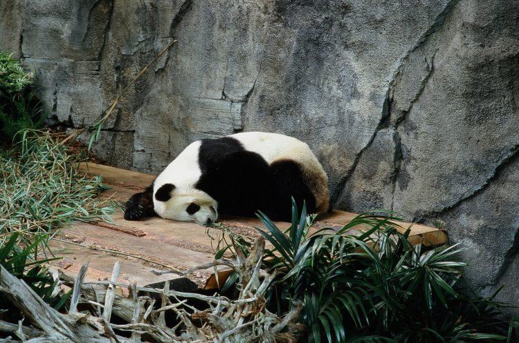 panda bear sleeping