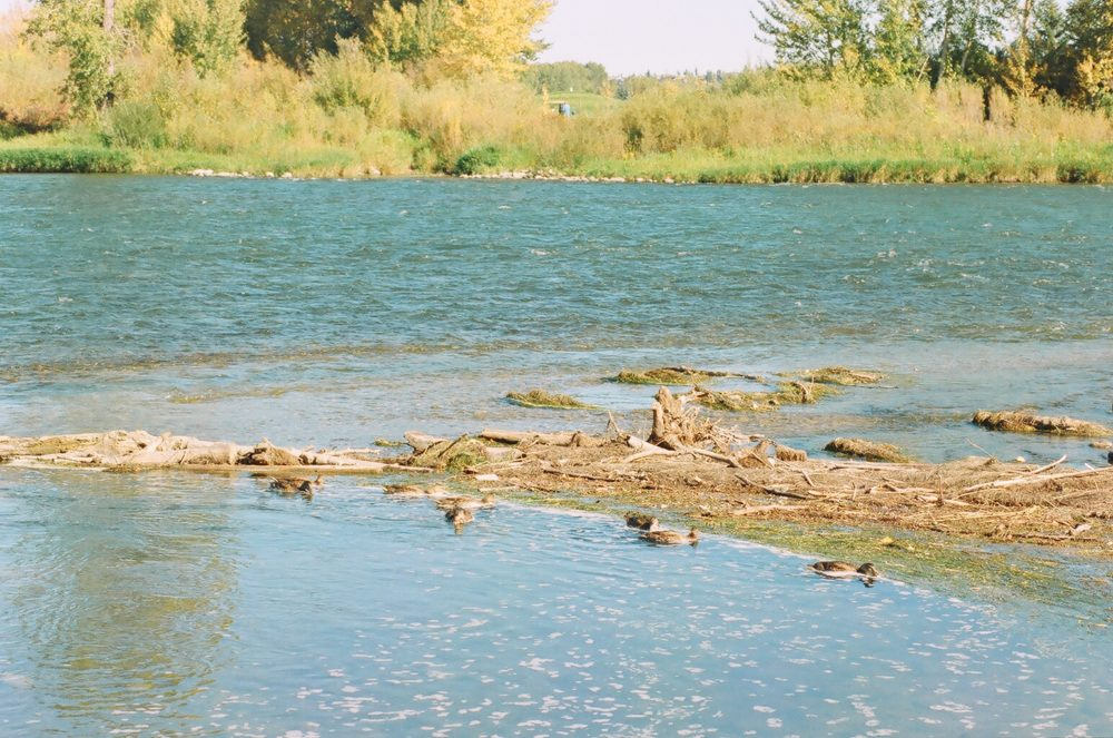 ducks on the Bow River