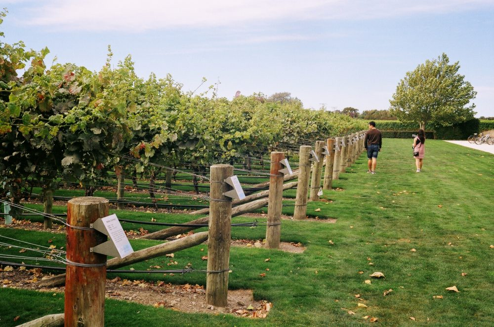 vineyards at Wither Hills