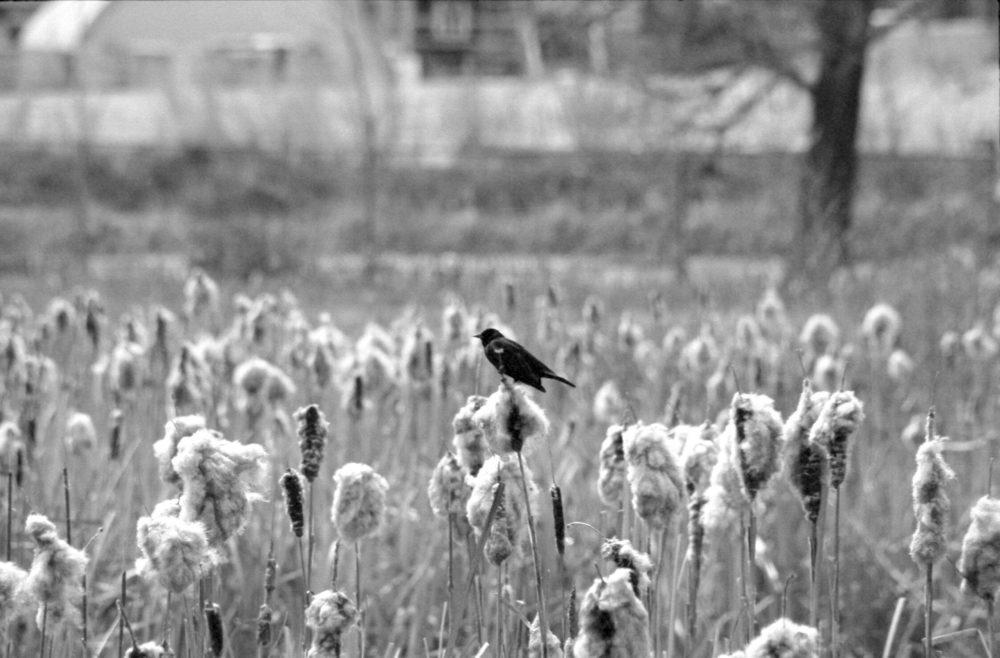 magpie in the rushes