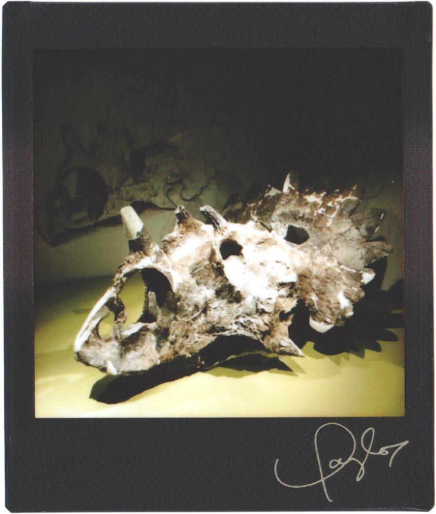 triceratops skull fossil
