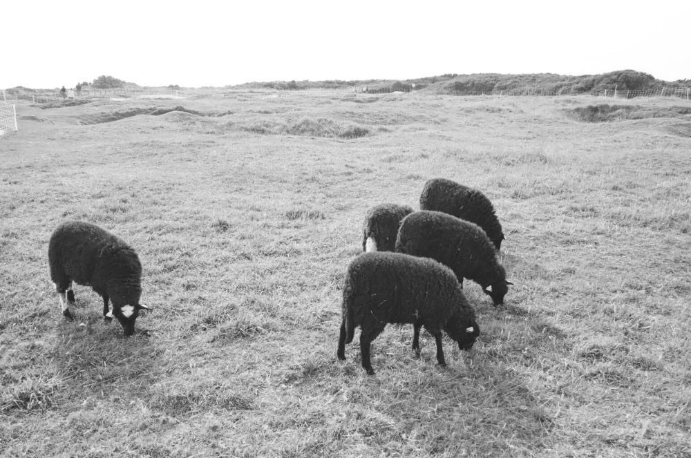 sheep at Pointe du Hoc