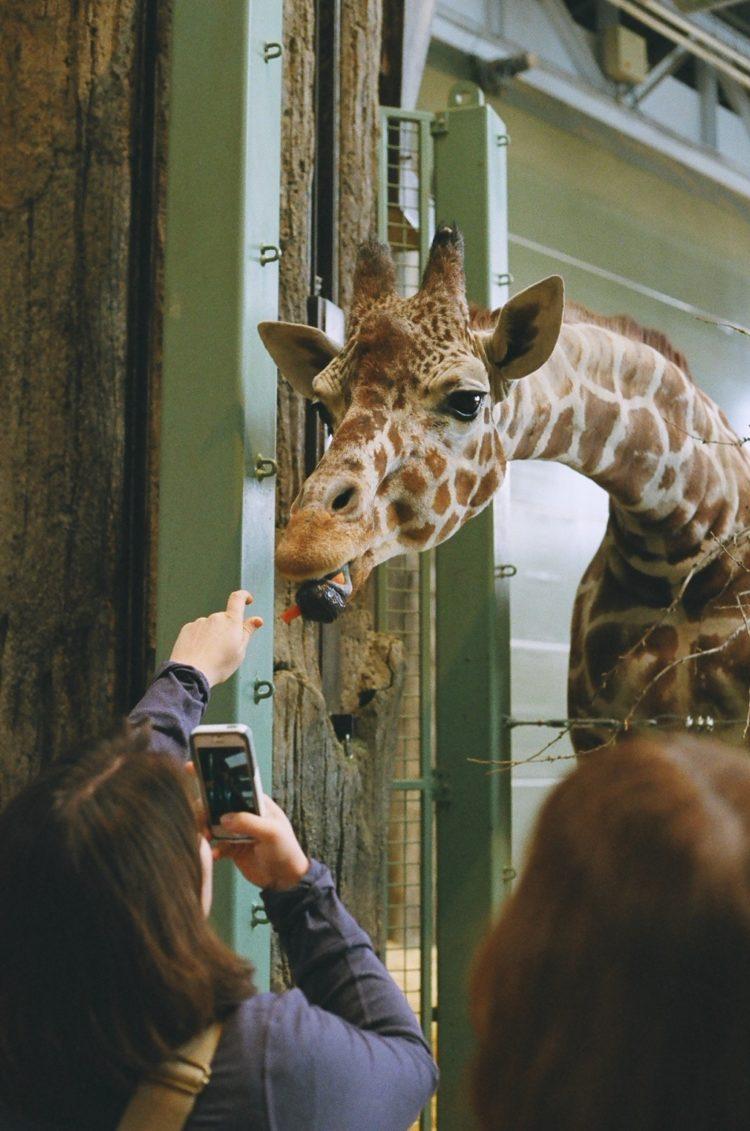 feeding a giraffe at the Calgary Zoo