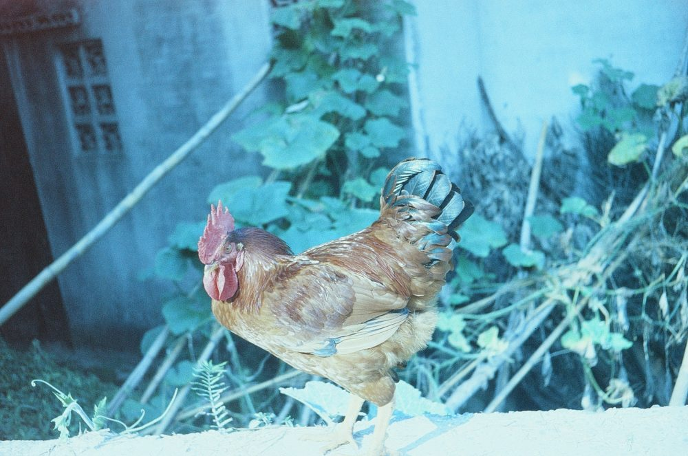 a chicken in Emeishan, China