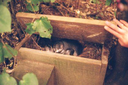 Little penguins in a nesting box
