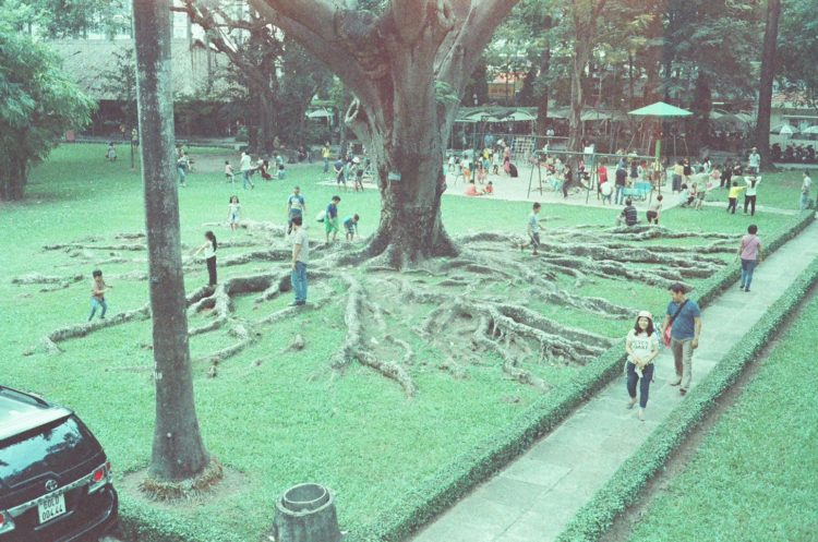 large roots of a tree outside the Reunification Palace in Ho Chi Minh City, Vietnam