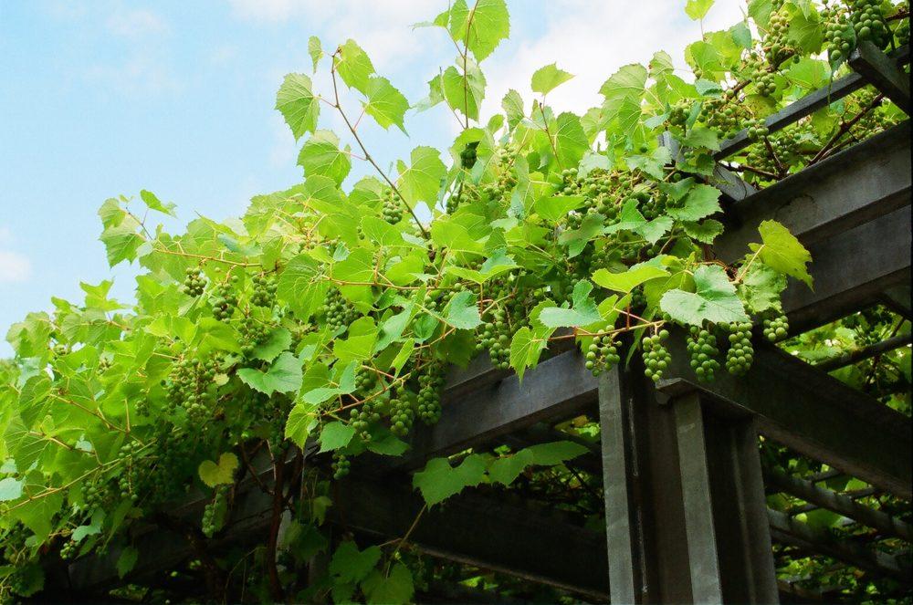 grapes at Hastings Park, Vancouver, BC